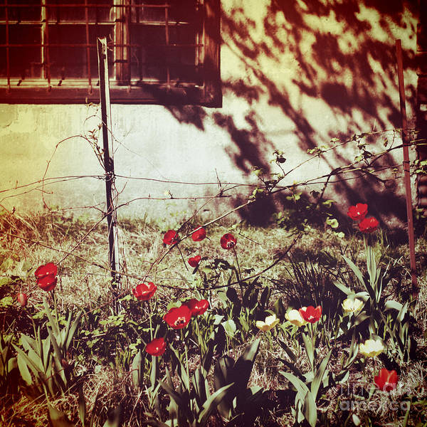 Photograph - Red Tulips And Window by Silvia Ganora