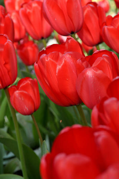 Photograph - Red Tulips Close Up by Brandon Bourdages