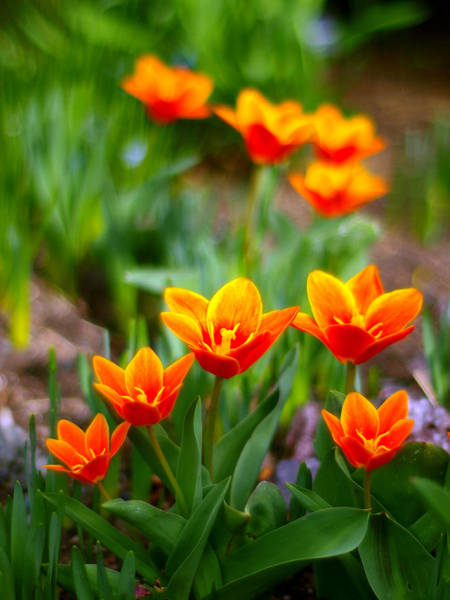 Chicago Botanic Garden Photograph - Red Tulips by Paul Ge