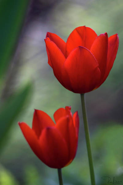 Photograph - Red Tulips by Raffaella Lunelli
