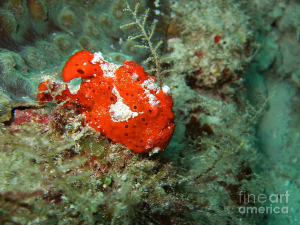 Ugly Photograph - Red Ugly Frogfish by MotHaiBaPhoto Prints