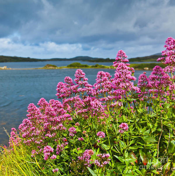 Ardmore Photograph - Red Valerian by Gabriela Insuratelu