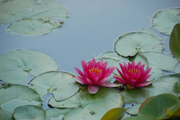 Photograph - Red Water Lilies by Randy J Heath