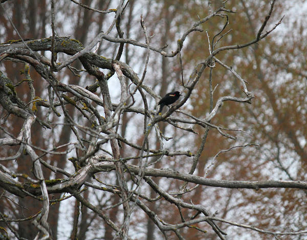 Photograph - Red Wing Blackbird On Gnarly Branch by Donna L Munro