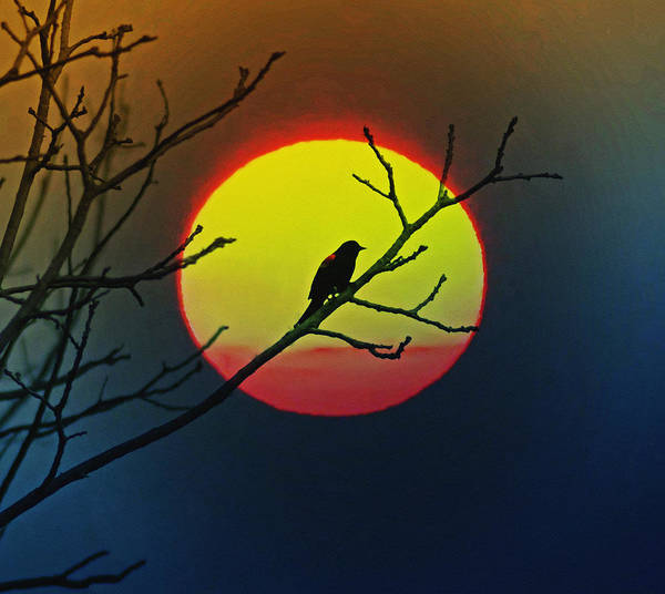 Red-winged Blackbirds Photograph - Red Winged Blackbird In The Sun by Bill Cannon