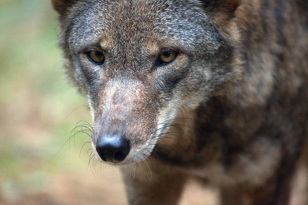 Red Wolf Photograph - Red Wolf Closeup by Karol Livote
