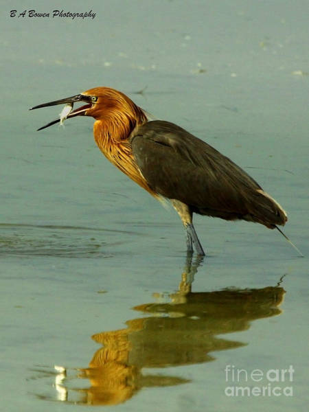 Photograph - Reddish Egret Caught A Fish by Barbara Bowen