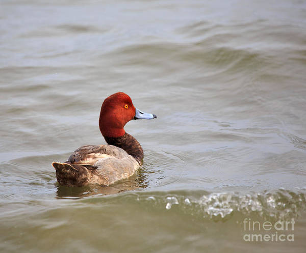 Aythya Americana Wall Art - Photograph - Redhead Duck by Louise Heusinkveld