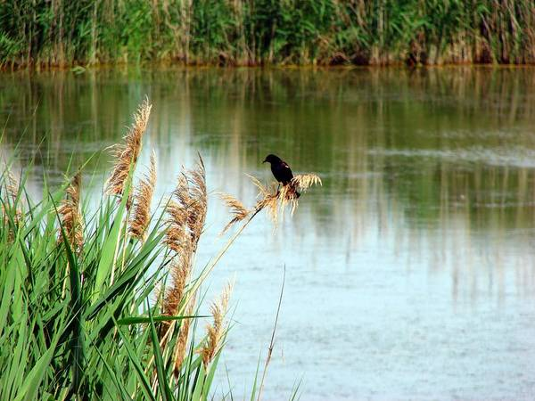 Mixed Media - Redwing  Blackbird At Wawanosh Lake by Bruce Ritchie