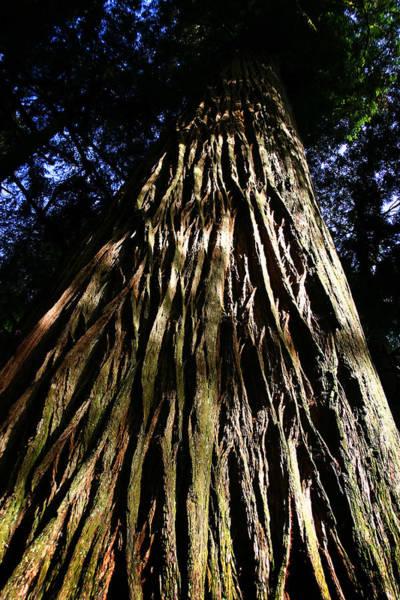 Photograph - Redwood Bark by Anthony Jones