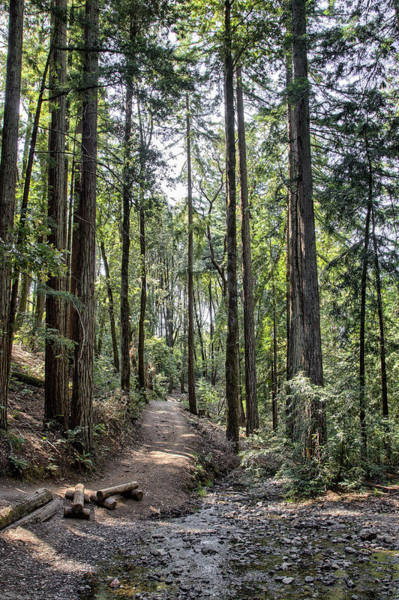 Photograph - Redwood Path by Peter Dyke
