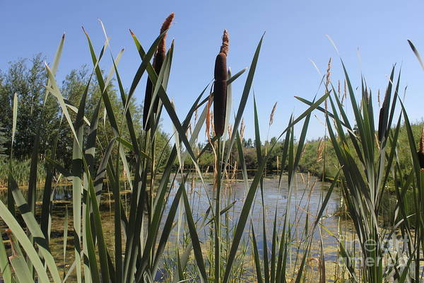 Photograph - Reeds by Donna L Munro