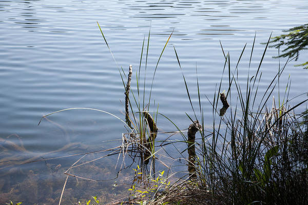 Photograph - Reeds Ripples And Twigs by Peter Dyke