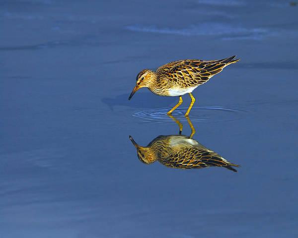 Photograph - Reflecting Pectoral Sandpiper by Tony Beck