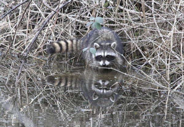 Wall Art - Photograph - Reflecting Raccoon by Angie Vogel