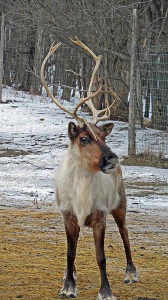 Photograph - Reinder Games by Cyryn Fyrcyd
