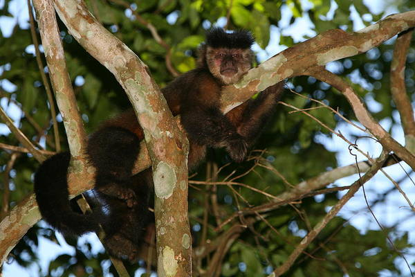 Wall Art - Photograph - Relaxed - Brown Capuchin by Bruce J Robinson