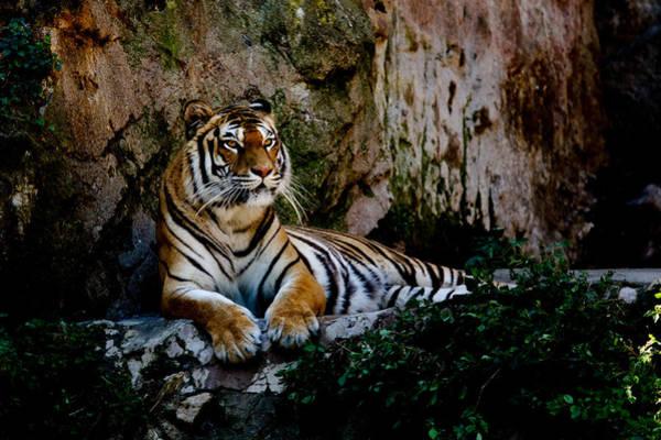 Hakon Photograph - Relaxing Tiger by Hakon Soreide
