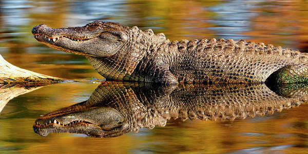 Relection Of An Alligator Art Print