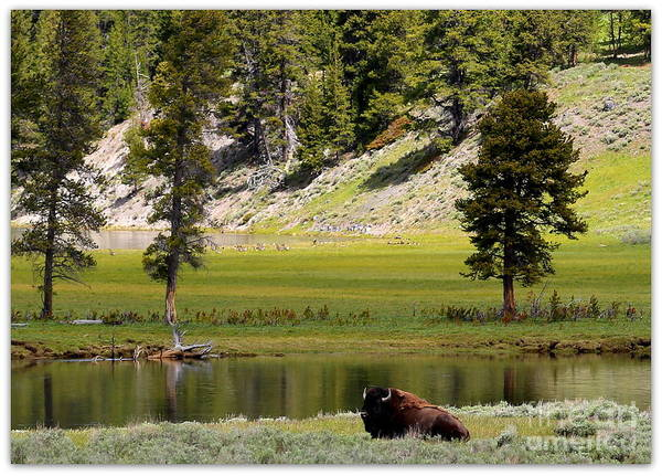 Photograph - Resting Buffalo By Pond by Carol Groenen