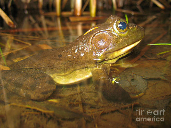 Bull Frog Photograph - Resting Bullfrog by Ted Kinsman