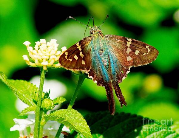 Photograph - Resting Butterfly by Nick Zelinsky