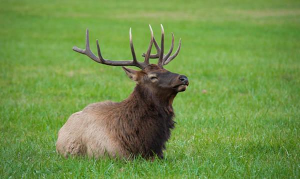 Photograph - Resting Elk by Joye Ardyn Durham