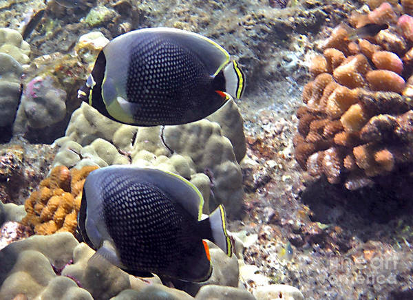 Photograph - Reticulated Butterflyfish by Bette Phelan