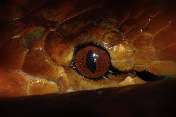 Photograph - Reticulated Python 2 by Scott Hovind