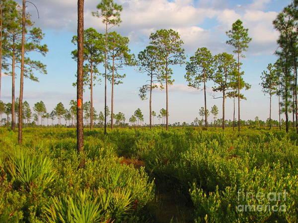 Photograph - Return Loop Of The Florida Trail by Barbara Bowen