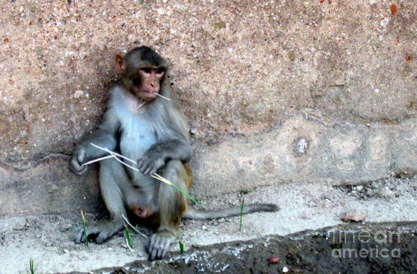 Northern India Photograph - Rhesus Macaque by Paul Ward