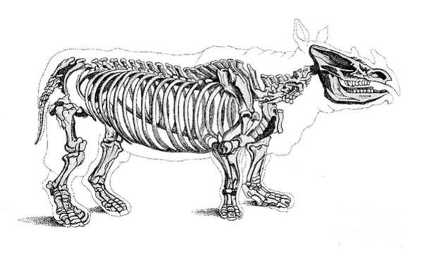 Photograph - Rhinoceros, Extant Cenozoic Mammal by Science Source