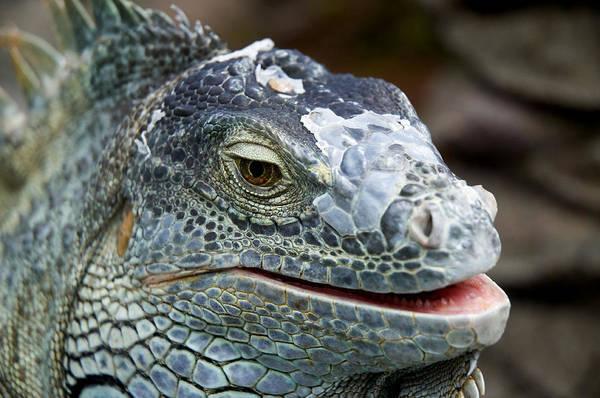 Iguana Photograph - Rhinoceros Iguana by Fabrizio Troiani
