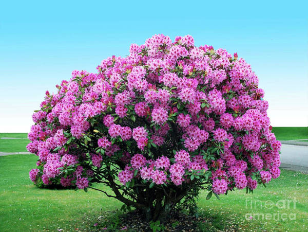 Photograph - Rhododendron by Bill Thomson