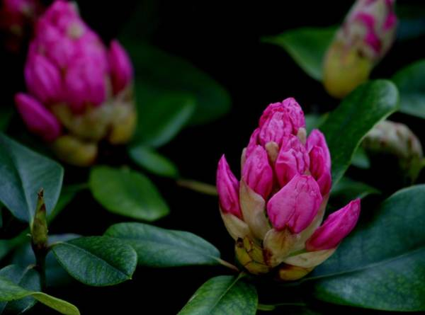 Wall Art - Photograph - Rhododendron Buds by Valia Bradshaw