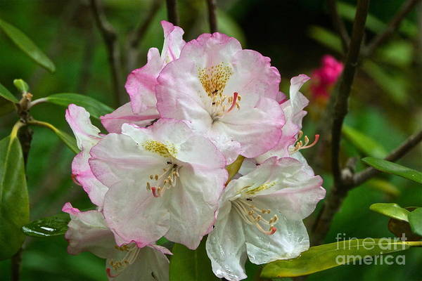 Photograph - Rhododendron Business by Byron Varvarigos