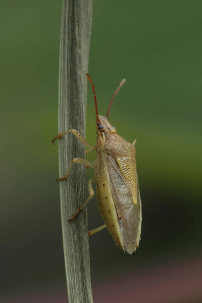 Photograph - Rice Stink Bug by Daniel Reed