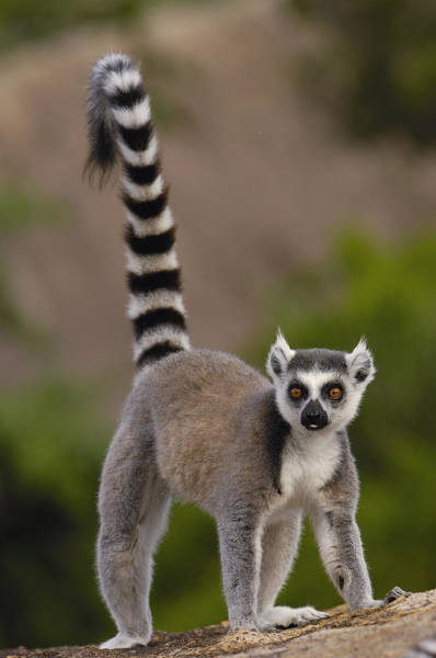Photograph - Ring-tailed Lemur Lemur Catta Portrait by Pete Oxford
