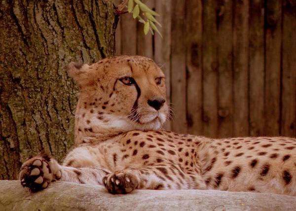Photograph - Rita The Cheetah by Trish Tritz