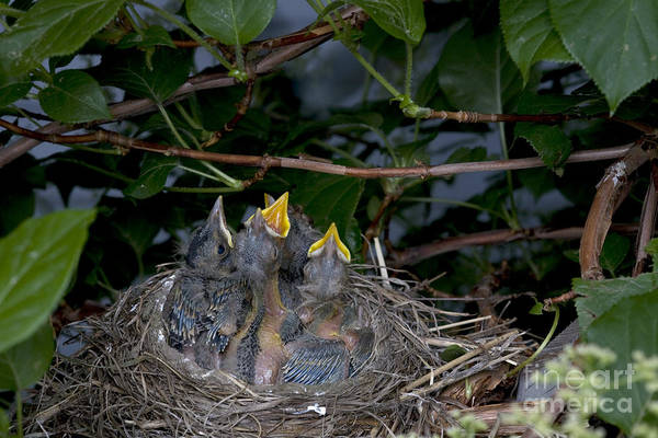 Chirping Photograph - Robin Nestlings by Ted Kinsman