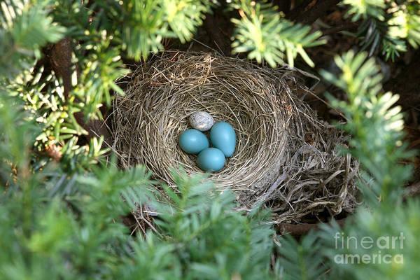 Cowbird Photograph - Robins Nest And Cowbird Egg by Ted Kinsman