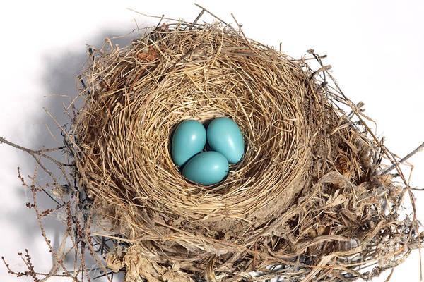 Robin Egg Blue Photograph - Robins Nest With Eggs by Ted Kinsman