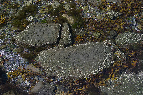 Photograph - Rocks And Seaweed by David Kleinsasser