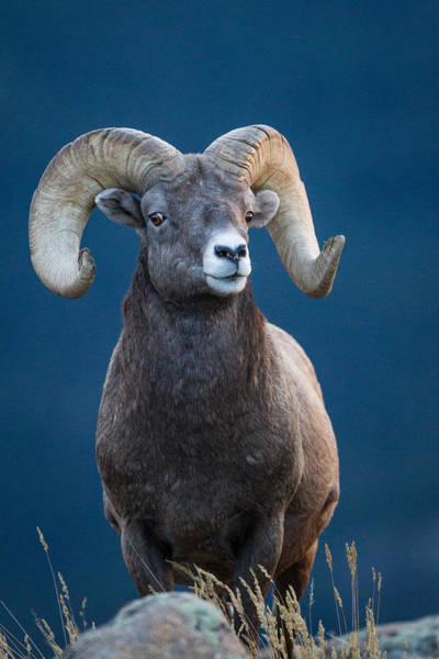Photograph - Rocky Mountain Big Horn by Ronald Lutz