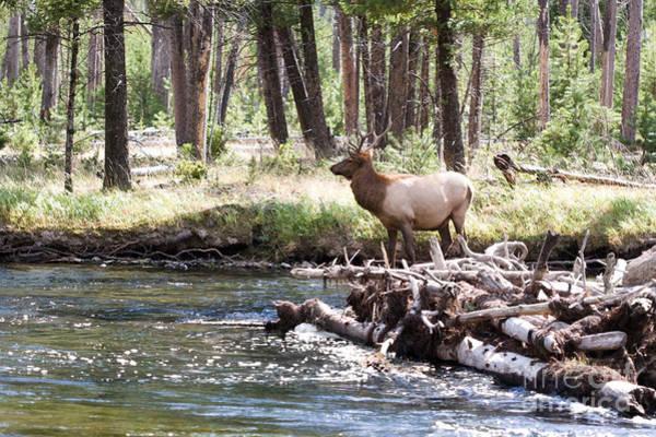 Rocky Mountain Elk Art Print