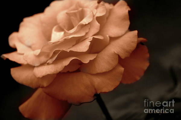 Photograph - Rose Blush 2 by Donna Bentley