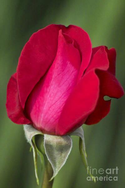 Photograph - Rose Flower Series 1 by Heiko Koehrer-Wagner