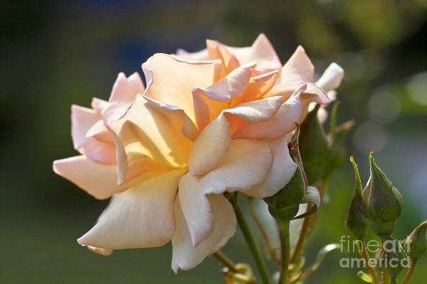 Photograph - Rose Flower Series 15 by Heiko Koehrer-Wagner