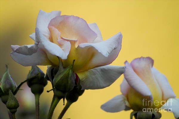 Photograph - Rose Flower Series 3 by Heiko Koehrer-Wagner