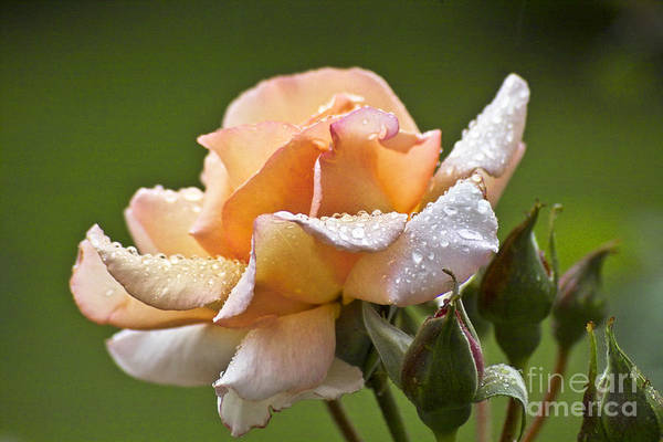 Photograph - Rose Flower Series 4 by Heiko Koehrer-Wagner